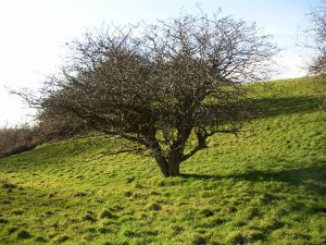 old hawthorn tree google image for reuse